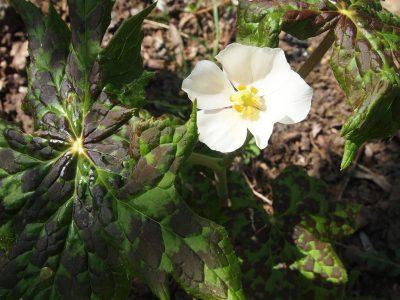 Podophyllum emodii (Подофилл Эмода)