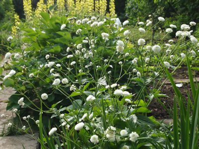 Ranunculus aconitifolius Flore Pleno (Лютик борецелистный Flore Pleno)