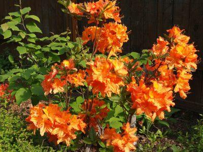 Rhododendron Ausma (Рододендрон Ausma)