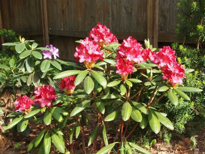 Rhododendron Kazimierz Wielki (Рододендрон Kazimierz Wielki)