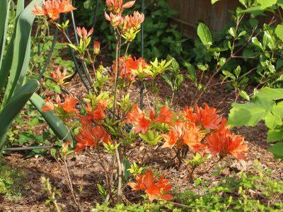 Rhododendron Liesma (Рододендрон Liesma)