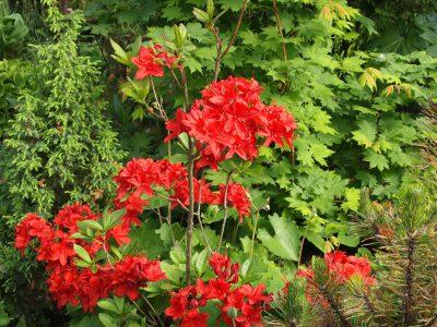 Rhododendron Nabukko (Рододендрон Nabukko)