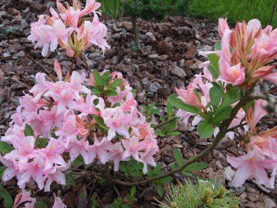 Rhododendron Soir de Paris (Рододендрон Soir de Paris)