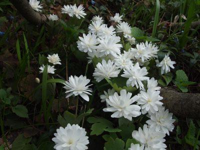 Sanguinaria canadensis Flore Pleno (Сангвинария канадская Flore Pleno)