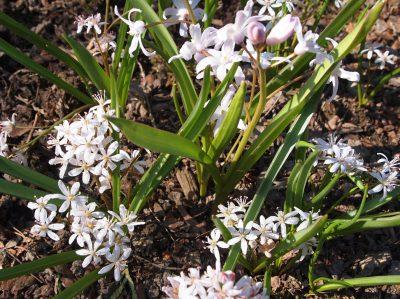 Scilla bifolia Rosea (Пролеска двулистная Rosea)