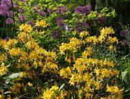 Цветение рододендрона желтого