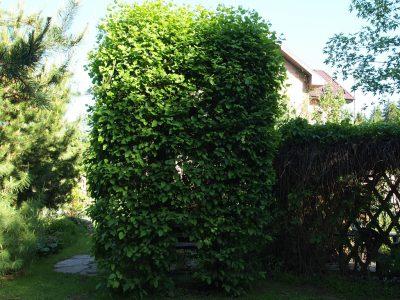Живая стена из боярышника
