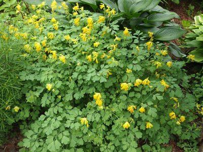 Corydalis lutea (Хохлатка желтая)