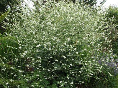 Crambe cordifolia (Катран сердцелистный)