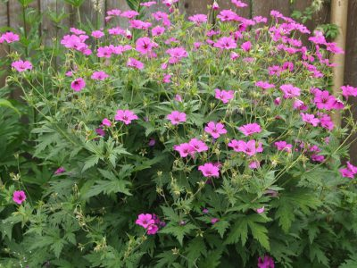 Geranium hybrids Patricia (Герань Патриция)