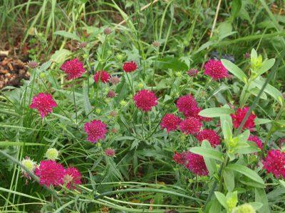 Knautia macedonica (Кнаутия македонская)