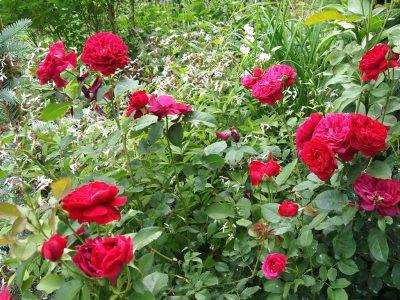Роза Darcey Bussell и гиленя трехлистная