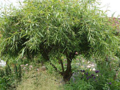 Salix x Scharovidnii Karlik