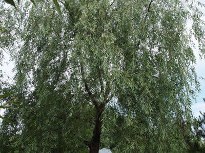 Salix x Vodopad