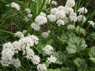Allium amplectens (Лук охватывающий)