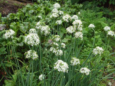 Allium odorum (Лук душистый)