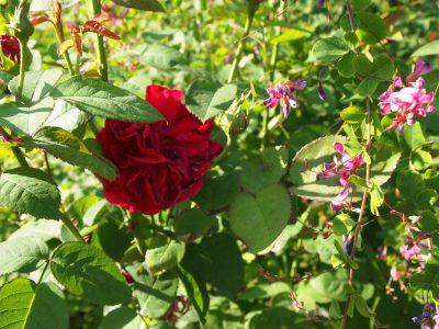Леспедеца и роза L.D.Braithwaite