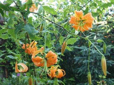 Lilium henryi (Лилия Генри)