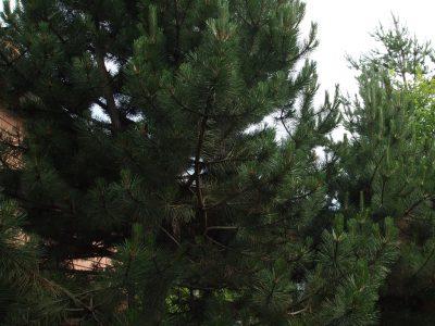 Pinus nigra (Сосона черная)