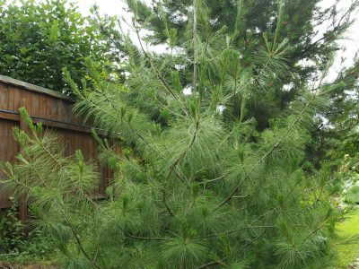 Pinus wallichiana (Сосна гималайская)