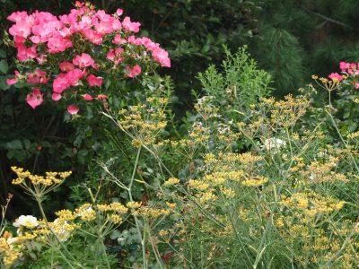 Роза Vegesacker Charme и фенхель обыкновенный