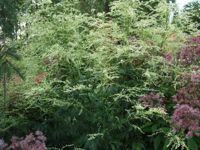 Artemisia lactiflora Elfenbein