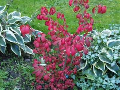 Euonymus alatus Fire Ball