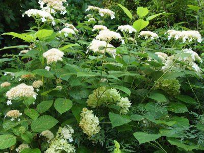 Hydrangea arborescens White Dome