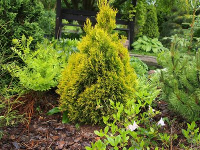 Thuja occidentalis Filips Magic Moment