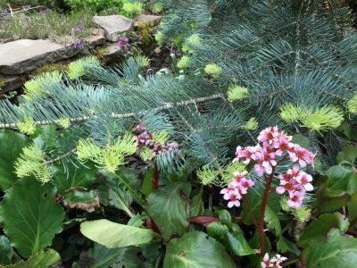 Abies concolor f. violacea (Пихта одноцветная f. violacea)