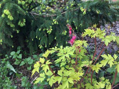 Picea abies Acrocona (ель обыкновенная Acrocona)