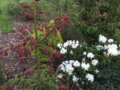 Picea abies Rydal (ель обыкновенная Rydal)