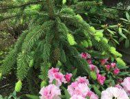 Picea abies Virgata (ель обыкновенная Virgata)