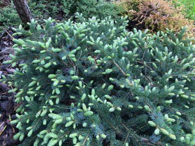 Picea mariorika Machala (ель мариорика Machala)