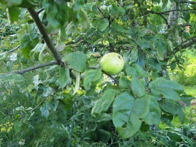 Плохой урожай яблок
