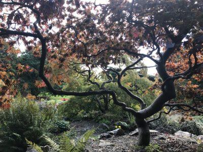 Клены веерные в Саду камней