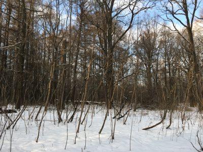 Аралия маньчжурская зимой