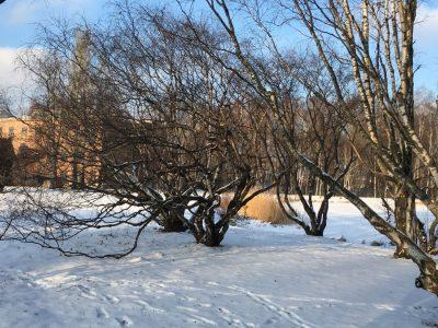 Карельские березы зимой