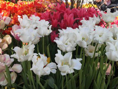 формы тюльпана