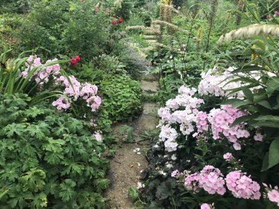 Флокс метельчатый розовой гаммы