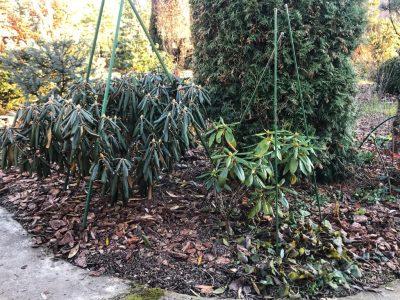 Подготовка рододендронов к зиме