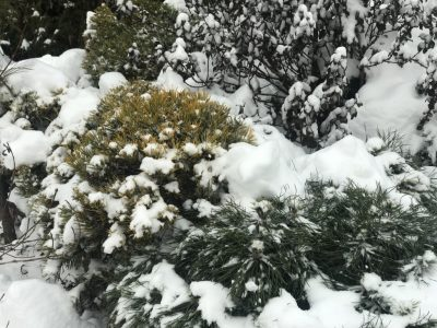 Сосна горная Wintergold