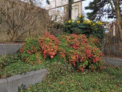 Нандина и магония в Черном саду