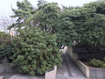 Рододендроны в Черном саду