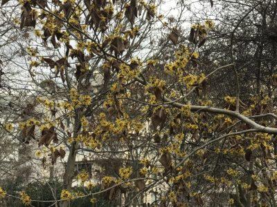 Цветение гамамелиса