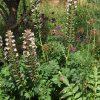 акант мягкий (acanthus mollis)