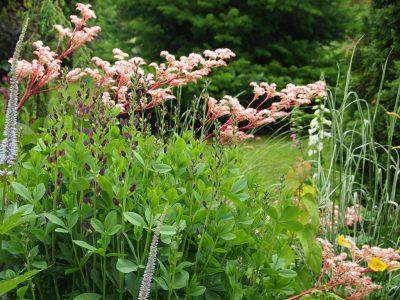 Роджерсия Хенрици в саду