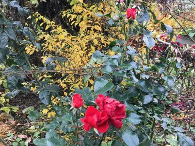 Розы в октябре