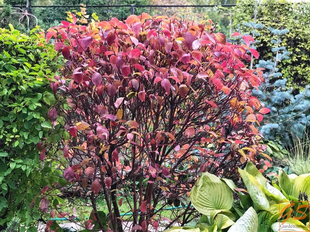 Осенняя окраска дерена белого ф. сибирская
