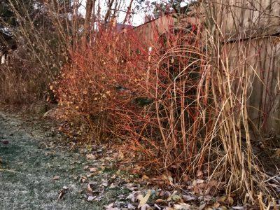 Сорта дерена кроваво-красного осенью